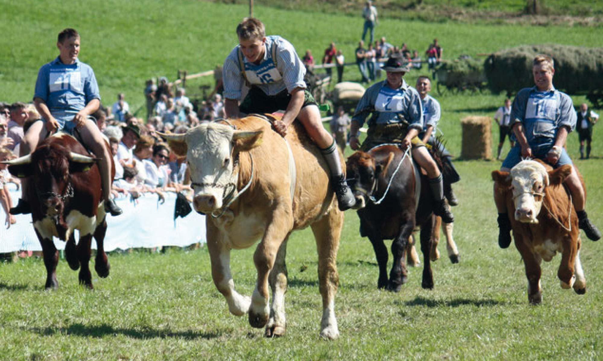 Bild Ochsenrennen Haunshofen